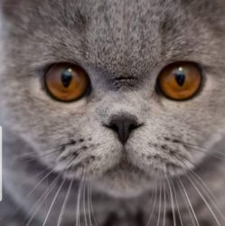 Pałuckie Pupile*PL British Shorthair Cattery